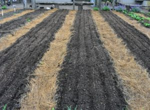 Ryan makes five furrowed rows in each of three onion beds - one for yellow, one for white and one for red onions.