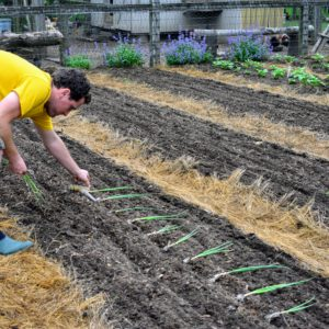 Ryan places the plants in the furrow where they should be planted - at least four-inches away from each other. Space is precious in the garden, so proper spacing is crucial.