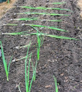 Here are a few already planted, with lines of onion plants still waiting. Onions grow best when the soil pH ranges between 6.0 and 6.8.