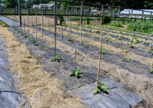 The first rows of plants are now in the ground. It's a good idea to grow a range of varieties, including at least one or two disease-resistant types, since, of all veggies, tomatoes tend to be the most susceptible to disease. 93-percent of American gardeners grow tomatoes in their yards, and according to the U.S. Department of Agriculture, most Americans eat between 22 and 24 pounds of tomatoes per person, per year – this includes tomatoes in sauces.