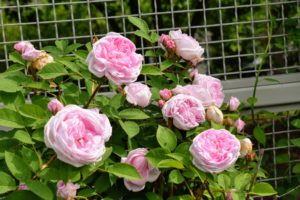 Roses are aggressive growers, and the climbers are some of the most vigorous – capable of growing many feet in a season.