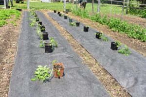 Several rows done and just a couple more rows to go - soon we will have delicious, juicy tomatoes here at the farm.