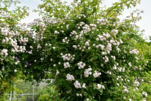 Climbers always do best when well supported by a trellis or fence – one that is the appropriate height, width, and strength for the climber. It should be strong enough to hold the weight of a full grown rose plant in both wet and windy weather.