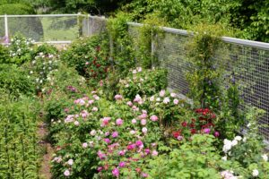 I have hundreds of rose varieties growing along the perimeter of my flower cutting garden - many are old fashioned and antique roses. They include: 'Alchymist', 'Boule de Neige', 'Cardinal de Richelieu', 'Charles de Mills', 'Constance Spry', 'Dainty Bess', 'Pierre de Ronsard', 'Ferdinand Pichard', Konigin von Danemark', Louise Odier', Madame Alfred Carriere', 'the Reeve', 'Pearlie Mae', and 'Sweet Juliet'.
