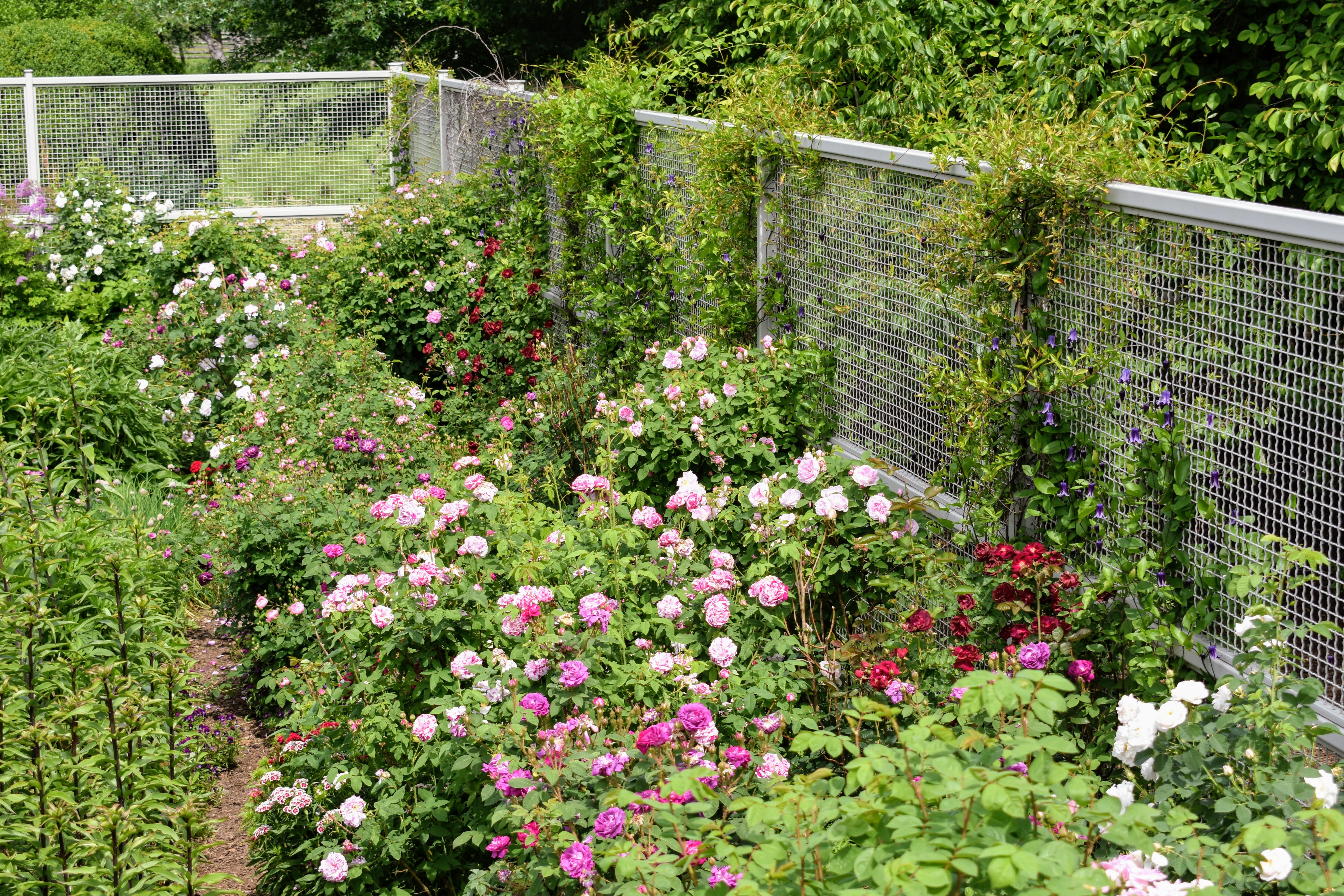 The Martha Stewart Blog Blog Archive Blooming Roses At My Farm