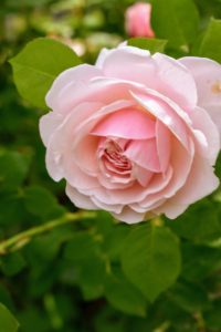 Here is one blooming so perfectly. A rose is a woody perennial flowering plant of the genus Rosa, in the family Rosaceae. There are more than a hundred species and thousands of cultivars.