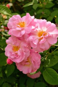 Roses can be erect shrubs, climbing or trailing with stems that are often armed with sharp prickles.