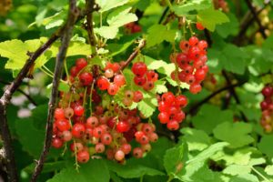 The fruits need to be picked quickly before they drop to the ground, or get snatched up by the birds. These currant bushes are very dependable and vigorous as growers.