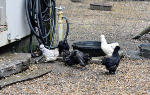 Here are the Silkie mixes enjoying their new yard. Silkies are among the favorite choices for children. This group will have varying colors, both bearded and non-bearded.