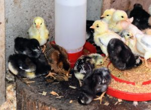 This group of chicks includes a Welsummer, Jersey Giants, and a Silver Spangled Hamburg. The chicks with less of a yellow puff on the bellies are Heritage Barred Plymouth Rocks - one of the most popular dual-purpose chickens on small farms today. Both roosters and hens are very pretty with feathers decorated in alternating bars of white and black.