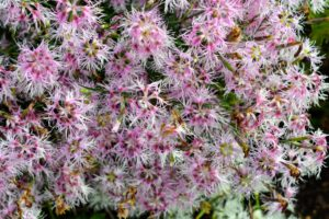 We all admired the dianthus with its beautiful pink and white fringed margins.