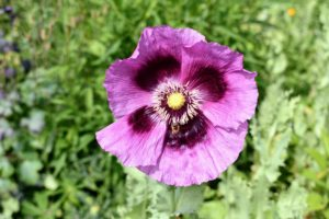 Also blooming this week - the poppies. Poppies produce open flowers that come in many colors from crimson red to purple, lavender and pale pink. Poppies require very little care, whether they are sown from seed or planted when young - they just need full sun and well-drained soil.