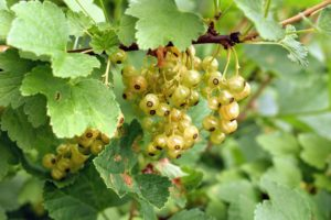 Fully set five-inch, delicate stems called strigs become pendulous chains of small berries. Berries of white, pink, and red currants are translucent, while black currants are matte purple-brown.