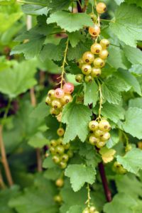 White currant berries are slightly smaller than their red counterparts.