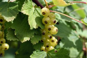 White currants are the classic ingredient in the highly known Bar-le-duc or Lorraine jelly.