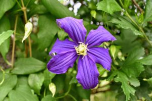 The roots of clematis should be kept shaded to keep them cool and moist. This can be done using low growing plants or with two to three inches of mulch around the base of the plant to help retain the soil moisture.