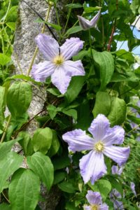 Some clematis cultivars will bloom in partial shade, but to really thrive, they need at least six-hours of sun each day.