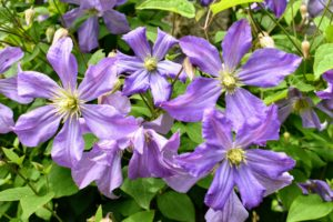 These plants are valued for their ability to climb, and to scramble up walls, fences and other structures. I have a variety of clematis in shades of white, purple and blue.