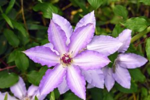 The standard clematis flower has six or seven petals, measuring five to six inches across. Colors range from lavender to deep purple, white to wine red, and even a few in yellow.