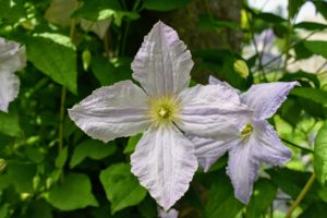 Clematis prefer moist, well-drained soil that's neutral to slightly alkaline in pH.