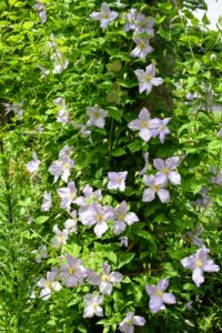 Walking back toward the gate, the tour group saw my beautiful clematis growing under the pergola. Clematis is a genus of about 300-species. They are mostly vigorous, woody, climbing vines. They need at least six hours of sun a day, and should be planted in well-drained soil.