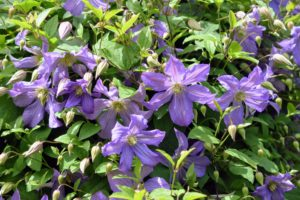 The timing and location of clematis flowers varies – spring blooming clematis flower on side shoots of the old season's stems. Summer and fall blooming vines flower on the ends of only new stems.