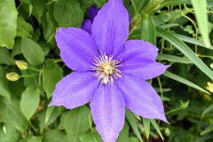 Clematis, pronounced KLEM-uh-tis, are native to China and Japan and known to be vigorous growers.