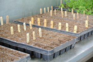 Here are the tomatoes just getting planted from seed last April.