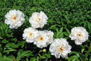 Peonies usually bloom quite easily. Be sure to always plant the eyes, the points at which new growth emerges, no more than two-inches deep. Also be sure the plants get at least six-hours of full sun per day.