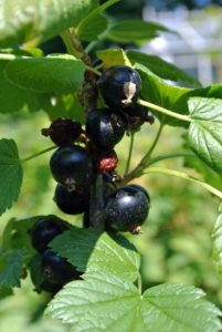 Black currant, Ribes nigrum, is a woody shrub grown for its piquant berries. You can't miss them in the garden- they are very aromatic.