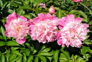 Peony blooms range from simple blossoms to complex clusters. Peony flower shapes are one of four major groups: single, semi-double, Japanese, and double.