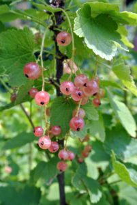 Although they may be eaten ripe off the shrub, pink currants are more often harvested for use in jams, jellies, and pies.