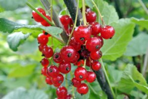 Red currants can range from deep red to pink to almost yellow in color.