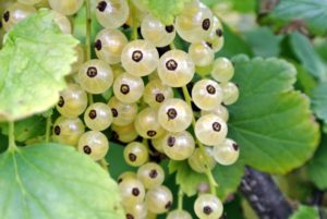 White currants are the sweetest of the three currant colors – sweet, and tart with floral undertones. Although the fruits are the primary source of food from the plant, the leaves and tender, young shoots are also edible.