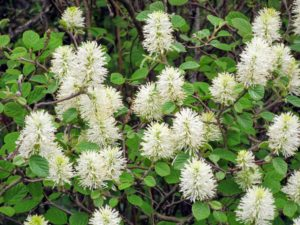 Fothergilla gardenii is a moisture loving, acid soil requiring compact shrub. It displays showy white and green flowers in mid-spring. This does well in full sun to full shade. It's tolerant of wet sites but not of dry conditions partially because of its shallow root systems. The genus name of this plant, Fothergill, honors John Fothergill, a Quaker physician from England who introduced and promoted a lot of plants to the UK that were native to the US.