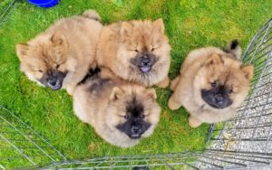 Early in the morning, I got a visit from the most adorable Chow Chow puppies. Karen brought Peluche's newest babies to the farm.