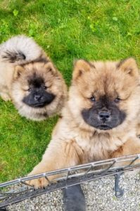 The Chow Chow is an ancient breed of northern Chinese origin. As an all-purpose dog of China, it was used for hunting, herding, pulling and protection.