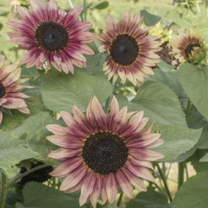 The flower buds on 'Strawberry blonde' sunflowers are also edible - they can be fried and the petals used as a garnish in salads and desserts; the flavor is bittersweet. (Photo courtesy of Johnny's Selected Seeds)