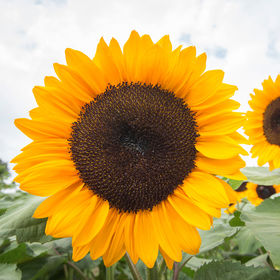 It is a classic orange sunflower which blooms earlier than others by five to seven days. (Photo courtesy of Johnny's Selected Seeds)