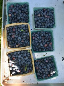 Here is one tray of boxes brimming with delicious sweet blueberries.