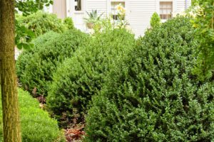 I have both English and American boxwood in this garden, This shapely English boxwood is the more sensitive of the two and gets carefully wrapped with burlap every winter.