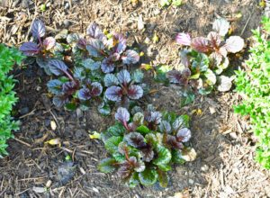 Most types of Ajuga only reach a height of six to nine inches when in full bloom. The multiplying rosettes of oval leaves will quickly grow so thick that weeds can't compete.