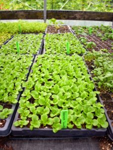 The Hickories has one greenhouse, which is heated for seedlings, and four additional hoop houses, which are unheated for crop protection and season extension. Here is a tray of salad mix greens.