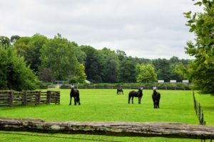 And here are four of my gorgeous Friesians just outside the Summer House garden in the nearby paddock. The masks protect them from the flies. The skies are darkening - more rain is on the way. As time progresses, I will share more photos of the unique and stunning lilies around the farm.