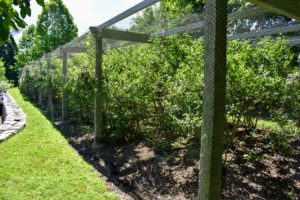 Blueberry bushes are resistant to most pests and diseases, and can produce berries for up to 20-years.