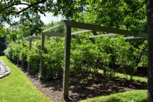My blueberry bushes are located near my Equipment Barn, next to my grove of quince trees. For most of the year, these healthy bushes are left open under this large pergola.