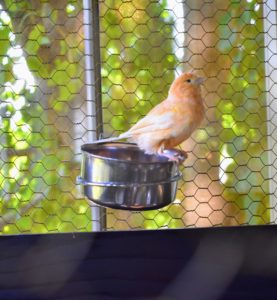 Here is one perched on a water bowl equipped with hooks that are secured to the wired walls of the cage. This canary is very curious about all the activity.