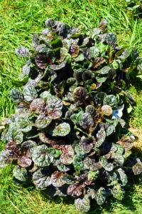 And as the name suggests, Ajuga spreads enthusiastically, producing abundant runners that root wherever they touch the soil, creating a carpet-effect.