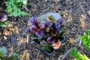 Ajuga 'Black Scallop', also known as Black Scallop bugleweed, ground pine, carpet bugle, or just bugle, has very glossy foliage and bright blue flowers in late spring.