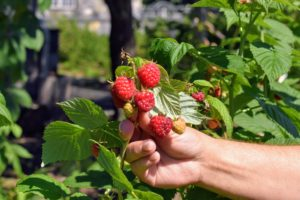 Red raspberries must be picked and handled very carefully, and checked for insects and rot. These berries are perfect.
